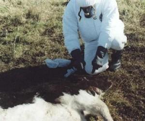 misterio del ganado vacuno